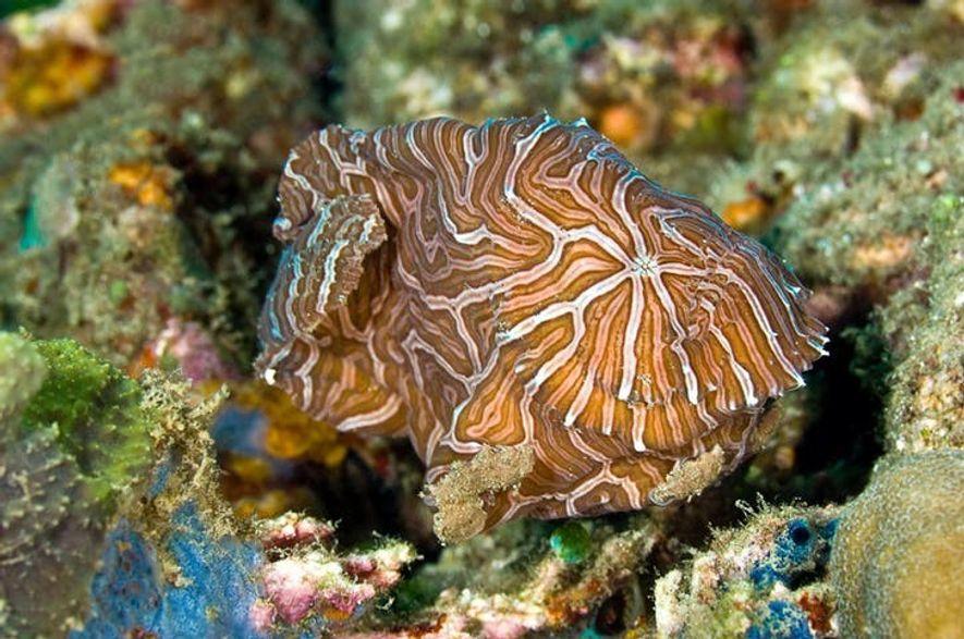 Um peixe psicodélico, no Mar de Banda, Indonésia.