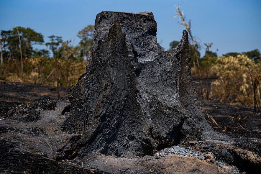 Vista aérea (no alto) e tronco (acima) de uma queimada dentro da reserva Chico Mendes. Até ...