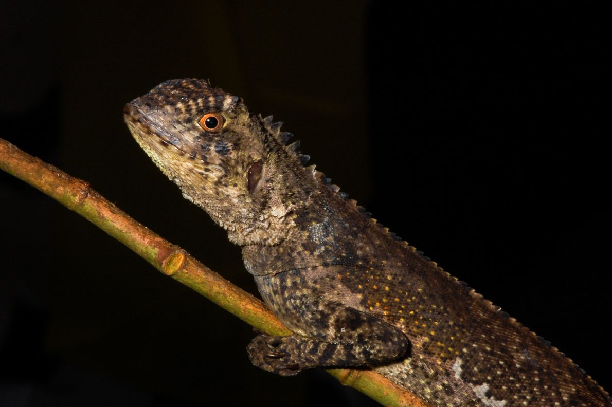lagarto tamaquaré