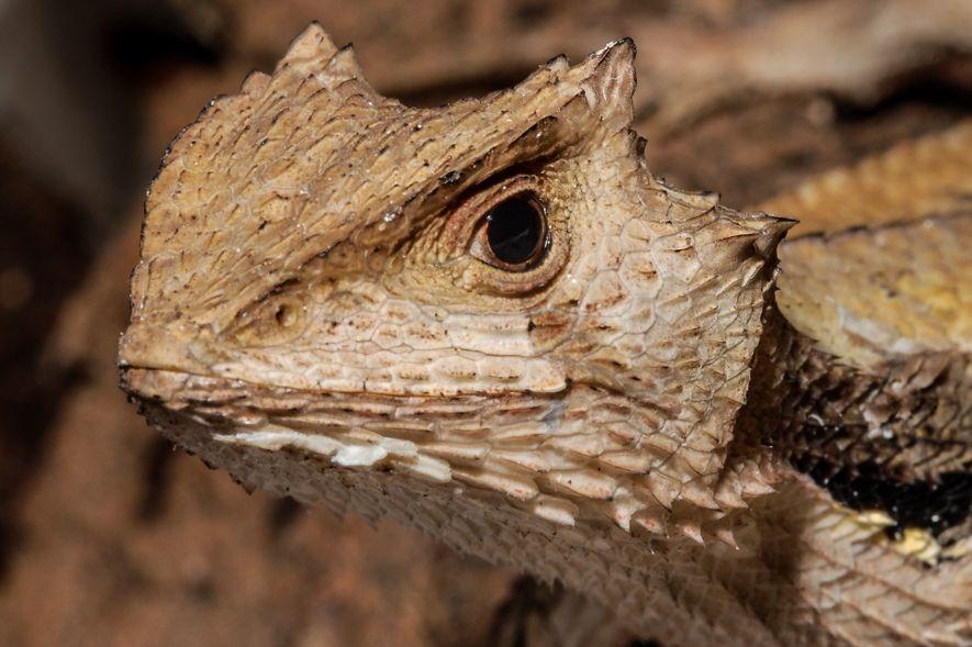 O lagarto 'Stenocercus dumerilii' só é conhecido do Brasil, nos estados do Maranhão, Pará e Tocantins. ...