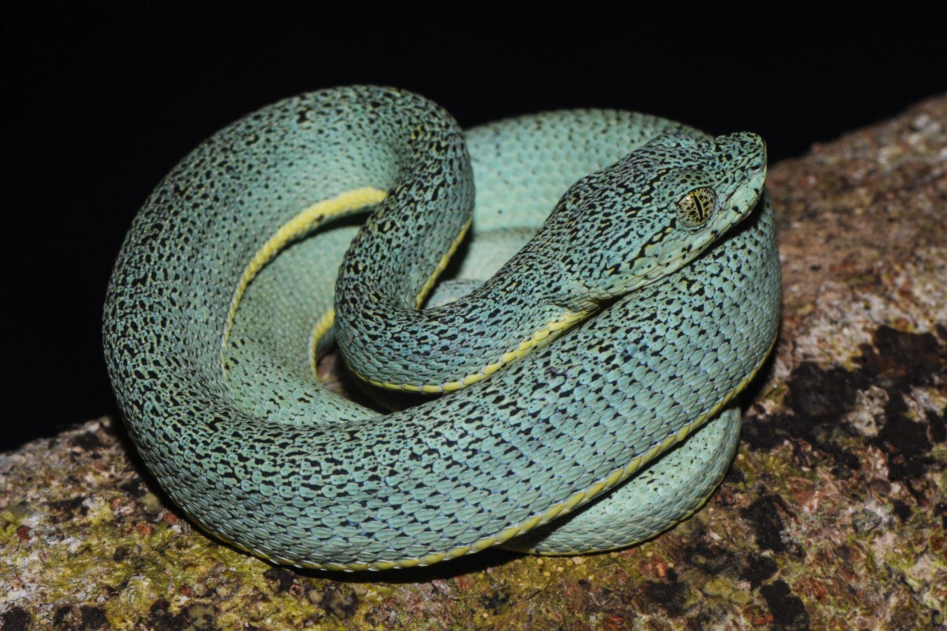A jararaca-verde, ou cobra-papagaia ('Bothrops bilineatus'), é uma das serpentes brasileiras realmente venenosas. Apesar disso, são ...