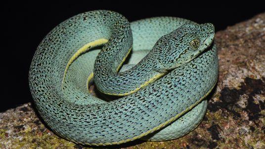 Entre cobras e lagartos: Brasil é o terceiro país do mundo em diversidade de répteis