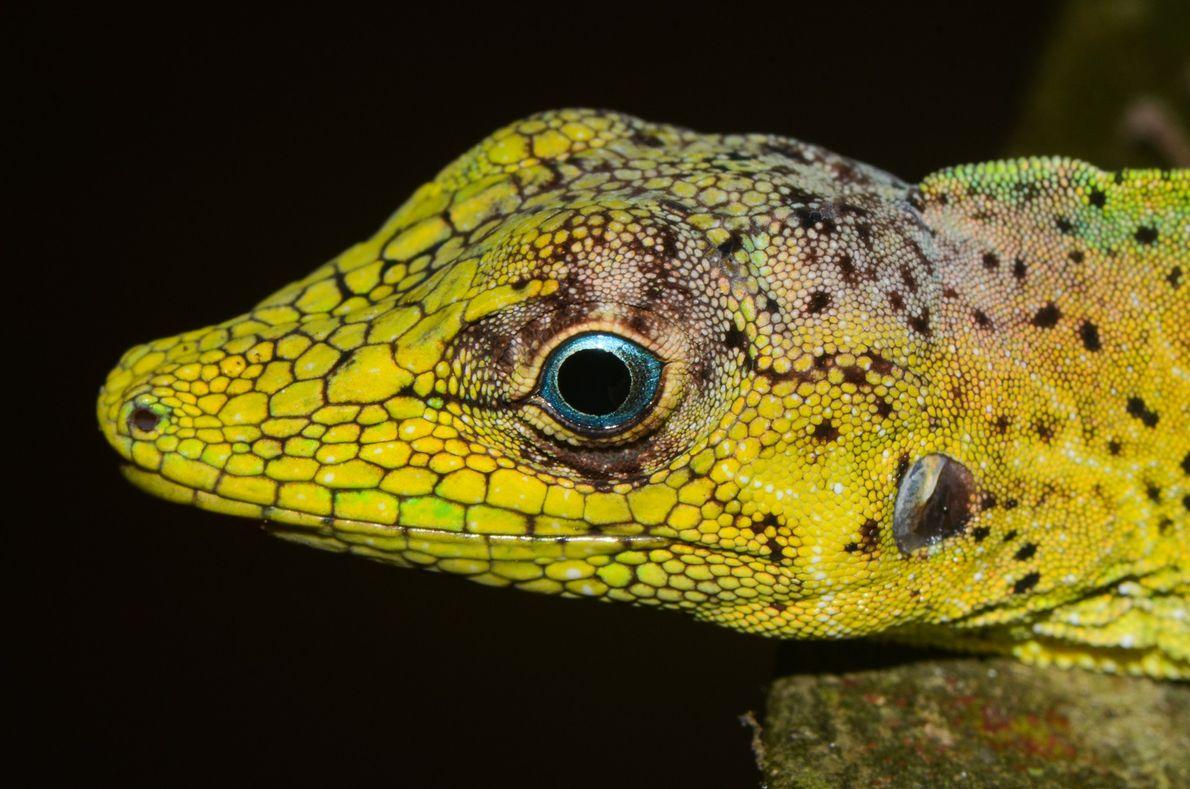 lagarto de olhos azuis
