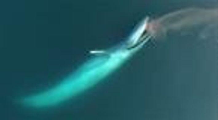 Baleia-azul e o aglomerado de krills