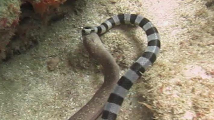 O lanche da cobra-marinha