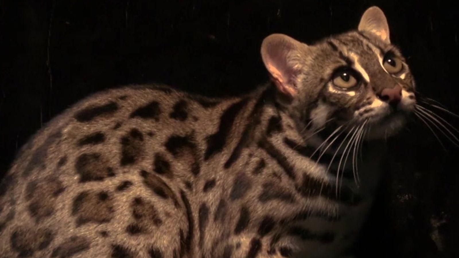 Gatos domésticos ou selvagens?