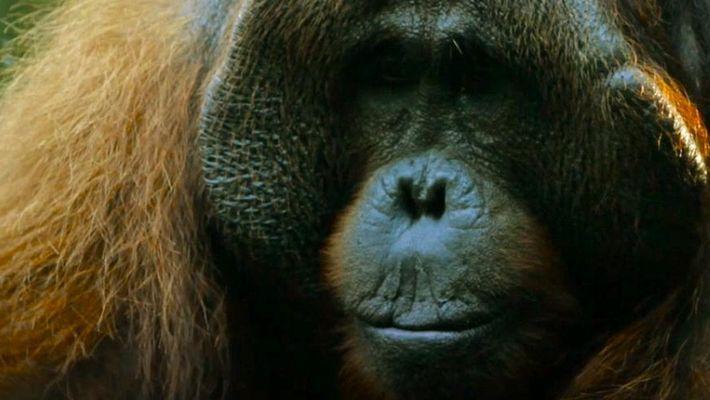 O que os orangotangos tanto fazem no alto das árvores?