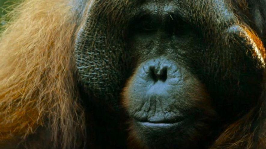 De galho em galho - Como vivem os orangotangos