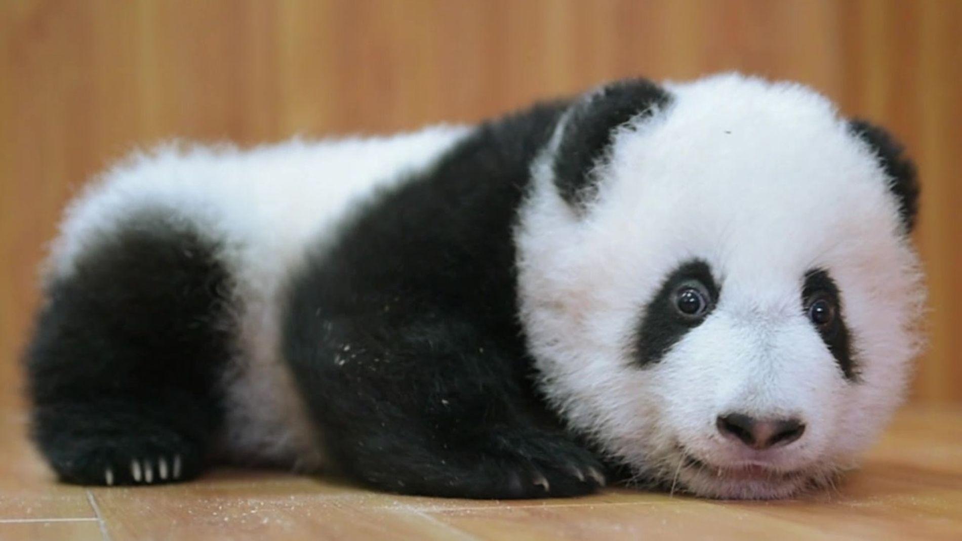Para salvar os pandas, os chineses os ajudam a defecar e vestem fantasias