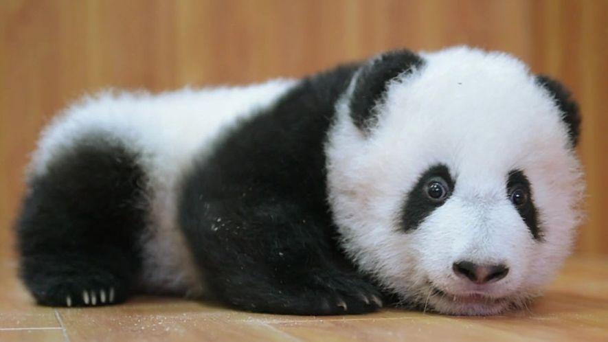 Preservação dos pandas