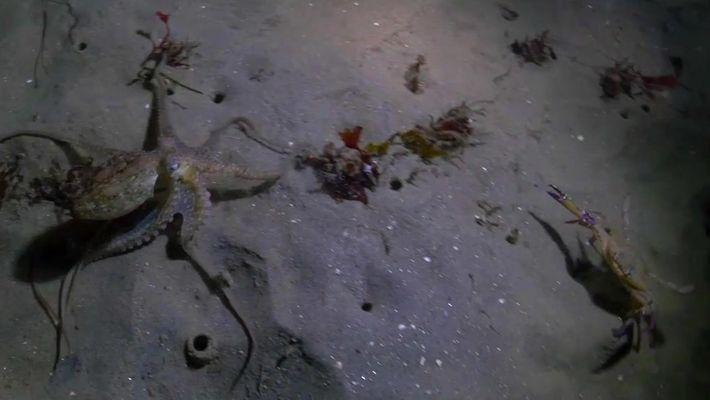 A surpreendente batalha entre o polvo e o caranguejo
