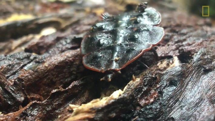 Escaravelho-trilobite