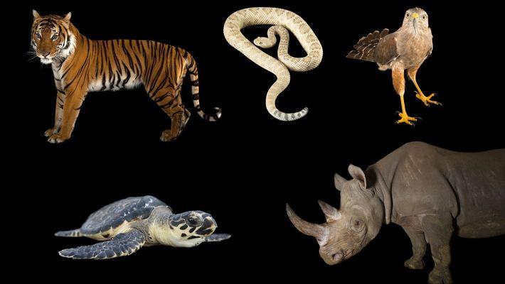 Estes cinco animais carismáticos estão entre os mais ameaçados do mundo