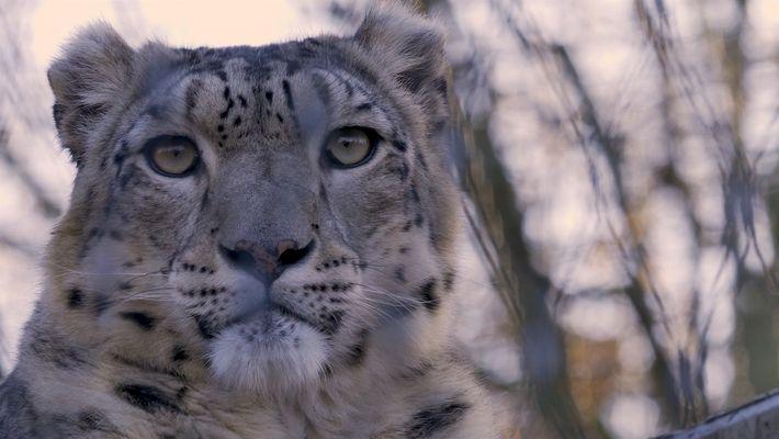 101 |  Leopardo-das-neves