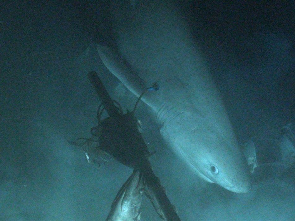 Submarino ajuda a implantar rastreador em tubarão pela primeira vez