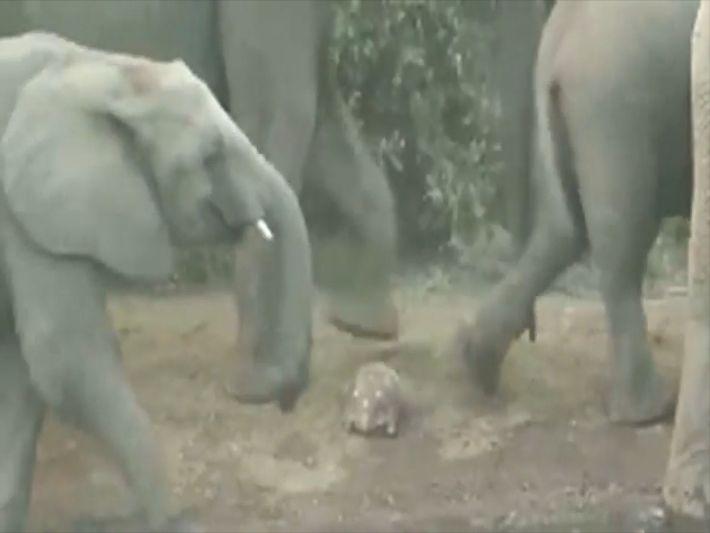 Por muito pouco, tartaruga escapa de ser pisoteada por elefantes
