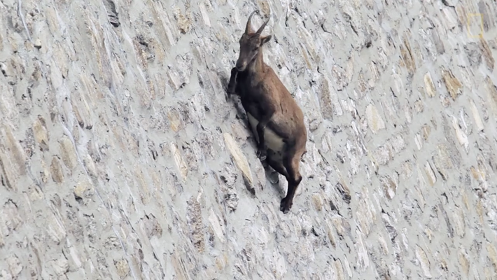 Ibex alpino: as cabras alpinistas