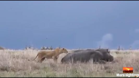 Veja o que acontece quando a leoa assusta um hipopótamo