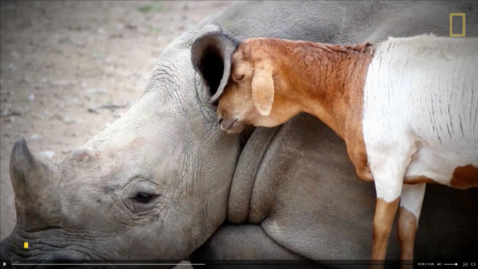 ovelha-rinocerontes-amizades-insolitas