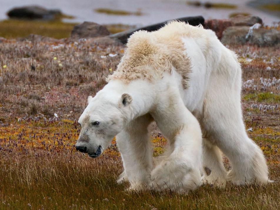 Fotógrafa do urso-polar faminto relembra o que deu errado
