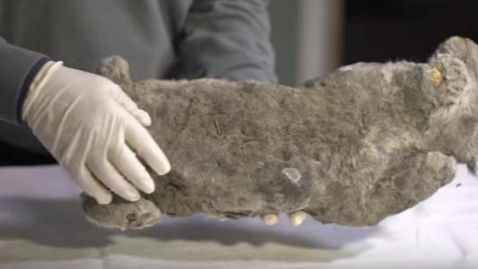 Restos congelados de leão-das-cavernas são encontrados na Rússia