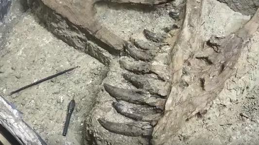 Seria este o fóssil de um jovem Tiranossauro rex?