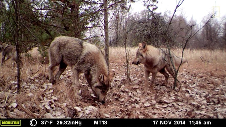 Sem humanos, a vida selvagem toma conta dos arredores de Chernobyl