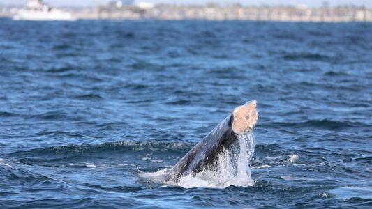Aumentam os avistamentos de baleias-cinzentas sem cauda