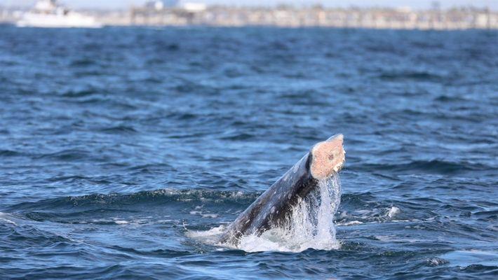 Aumento de baleias sem cauda na Califórnia preocupa cientistas