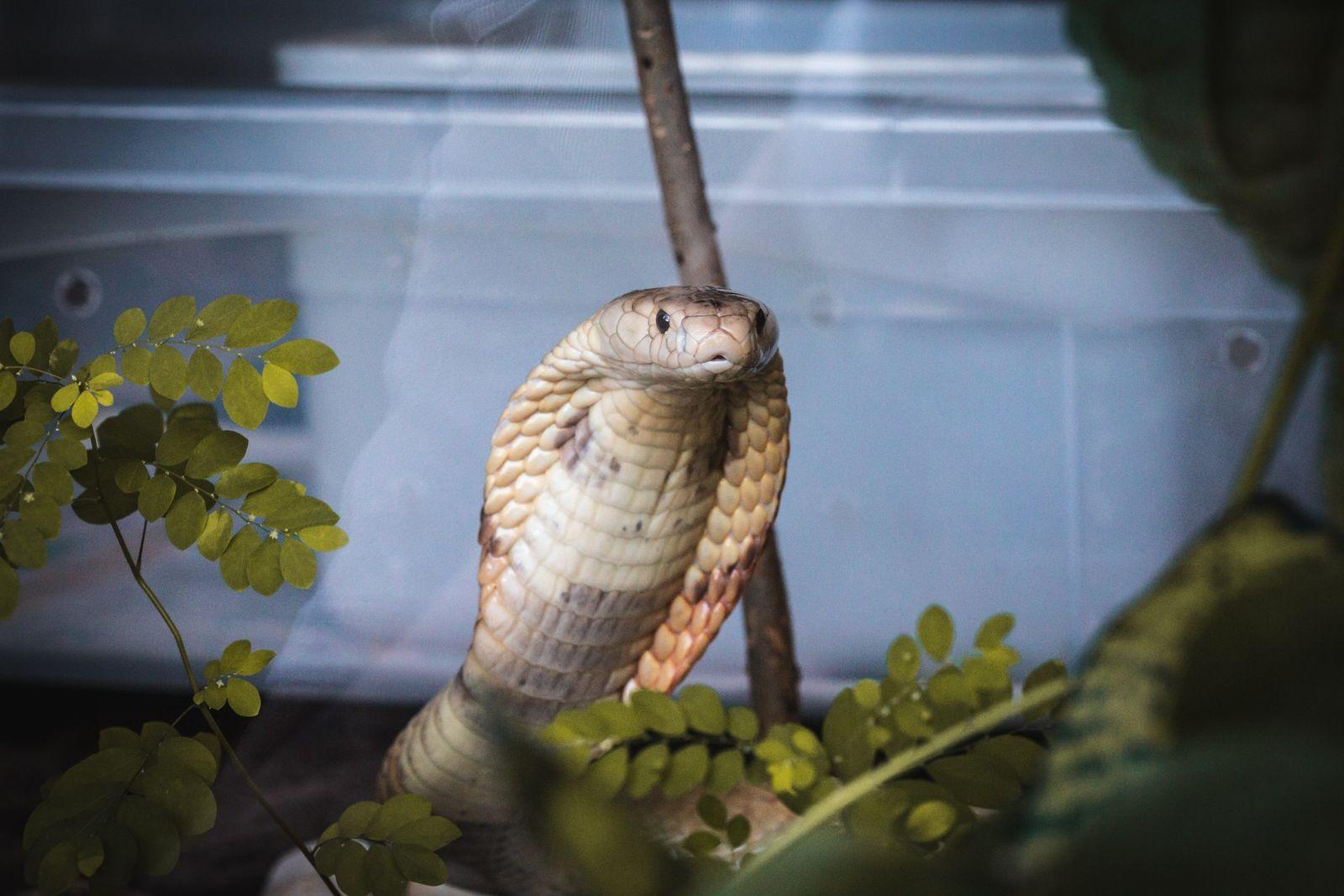Fotos: naja de monóculo que picou estudante em Brasília está no zoológico aguardando seu destino