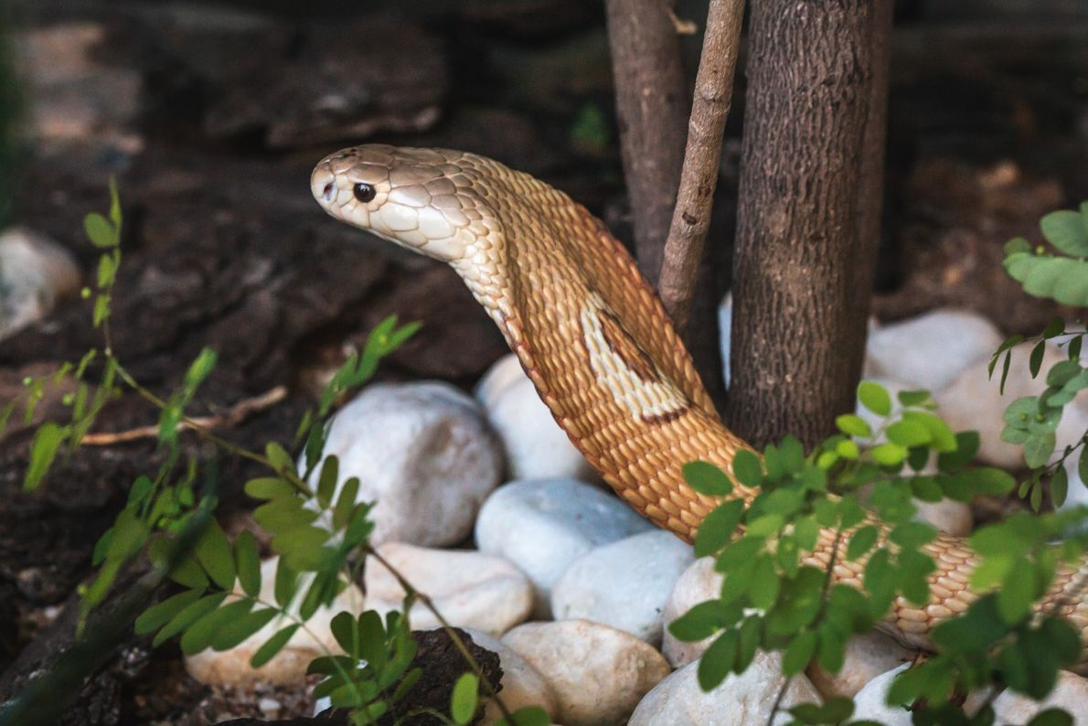 zoo-naja-monoculo-serpente-02