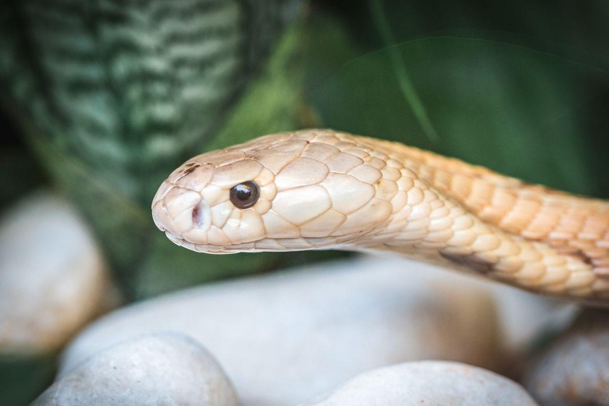 zoo-naja-monoculo-serpente-03