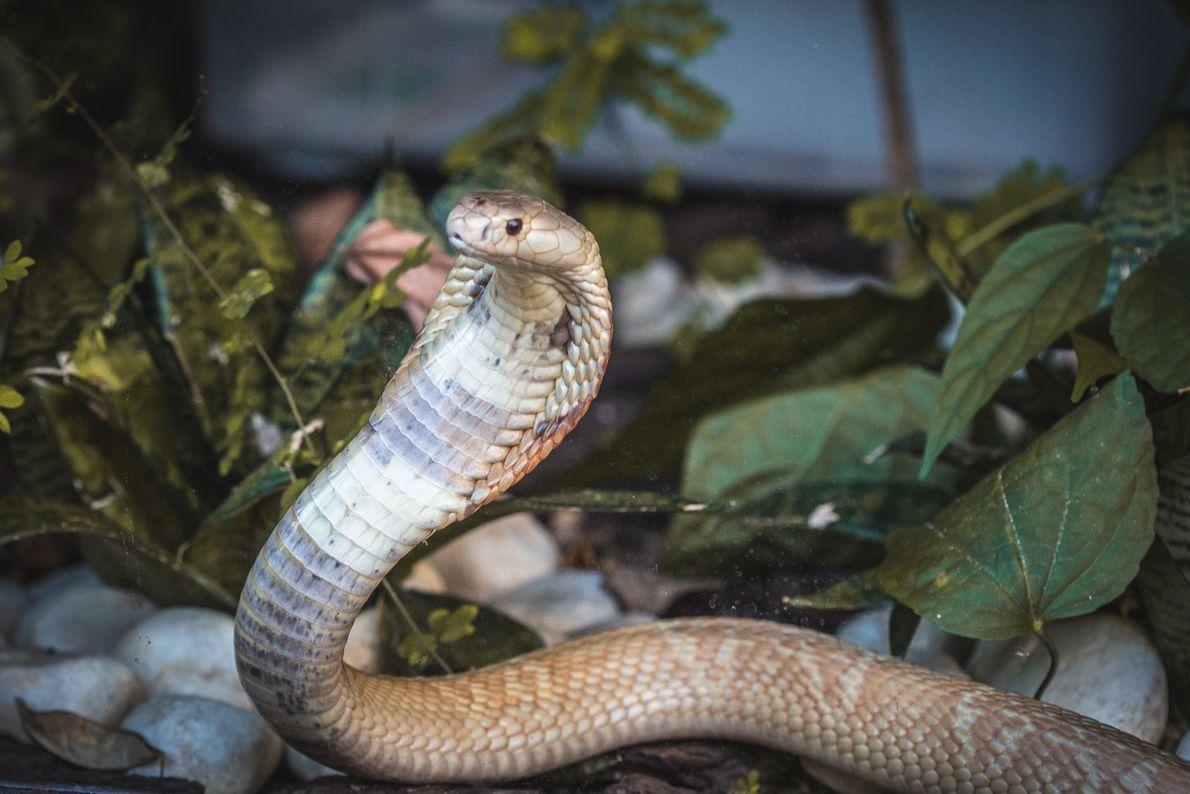 zoo-naja-monoculo-serpente-05