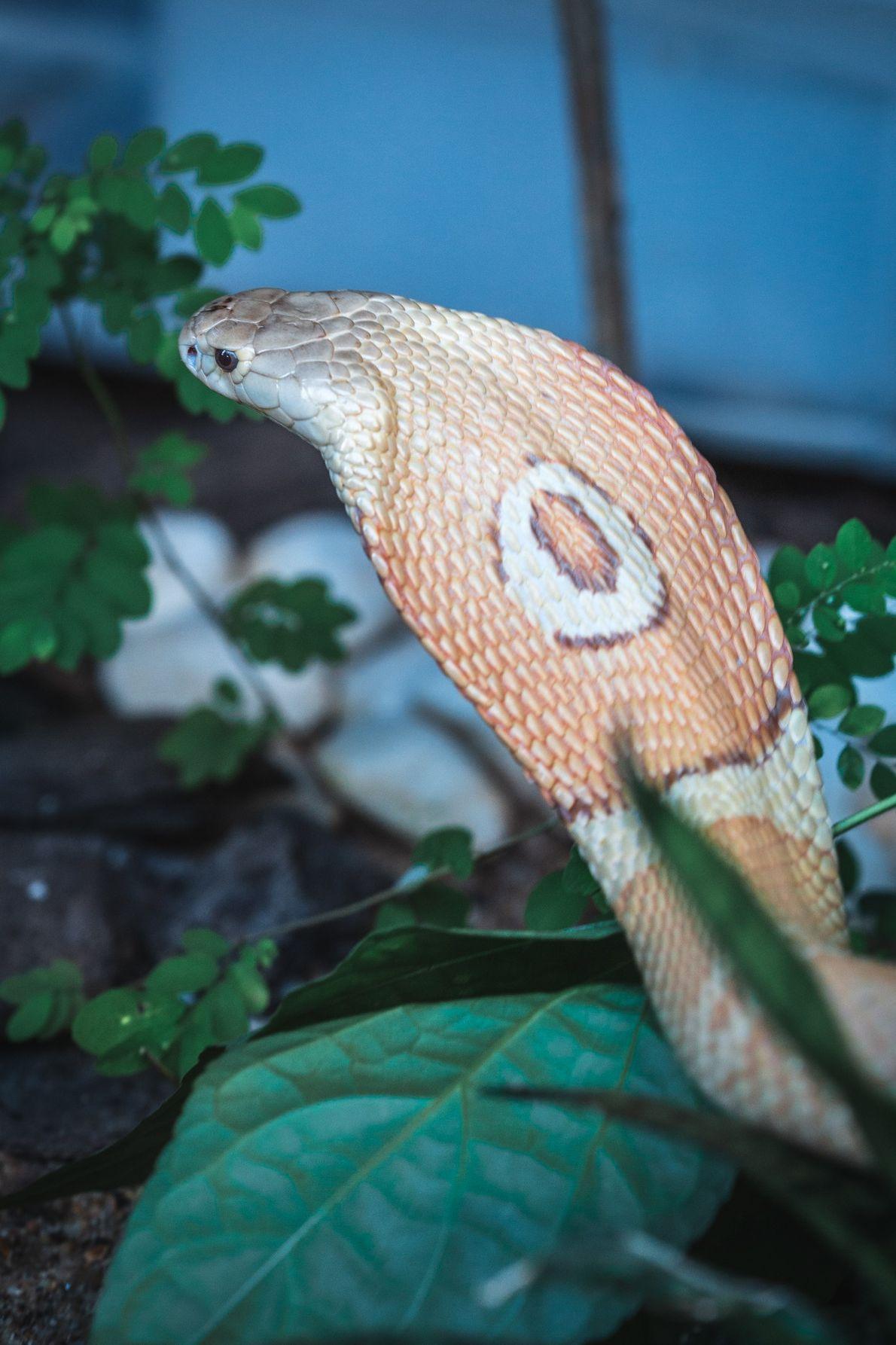zoo-naja-monoculo-serpente-06