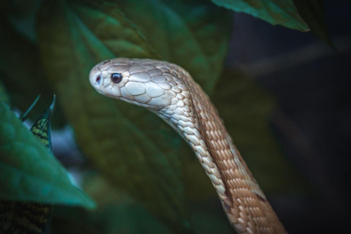 zoo-naja-monoculo-serpente-10
