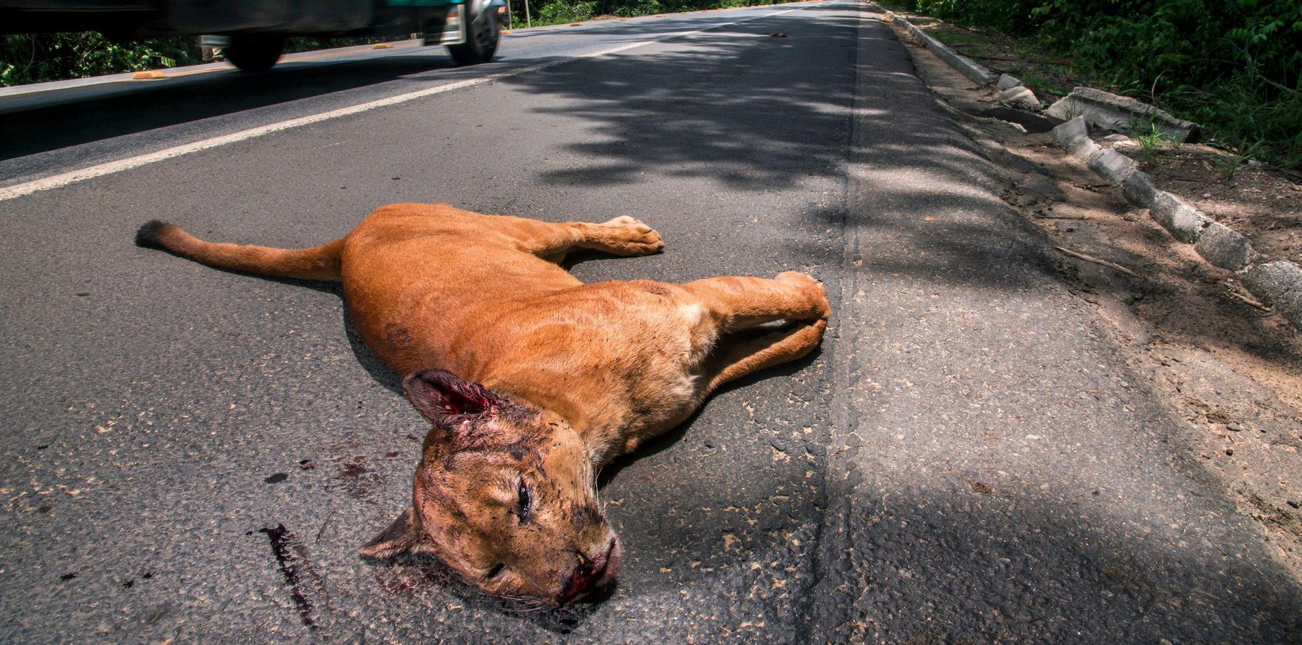 atropelamentos-anta-felinos-estradas-rodovias