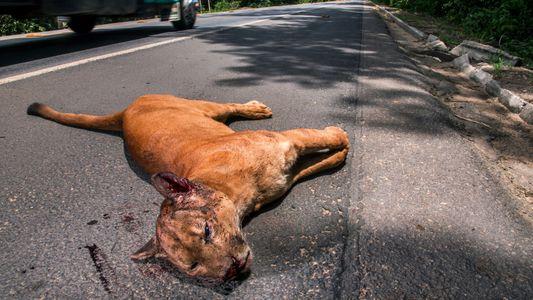 Atropelamentos podem antecipar extinção de espécies da fauna brasileira