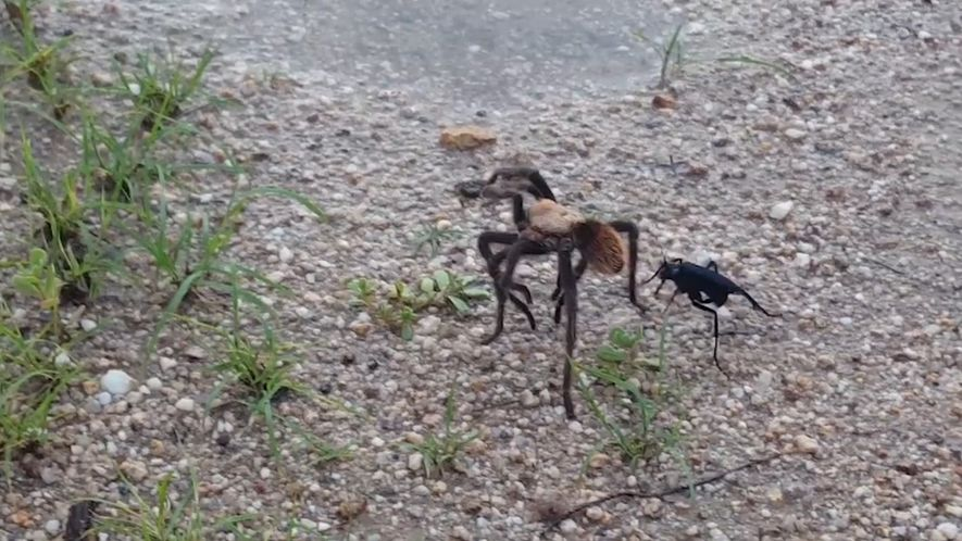 Marimbondo-caçador ataca tarântula. Menino de 9 anos narra tudo
