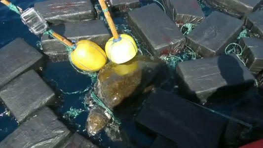 Tartaruga-marinha encontrada encurralada por pacotes de cocaína que valem milhões