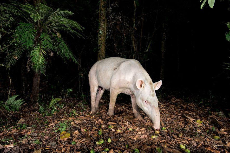 Versão albina: a anta é o maior mamífero terrestre do Brasil, com 2 metros de comprimento e 25 quilos.