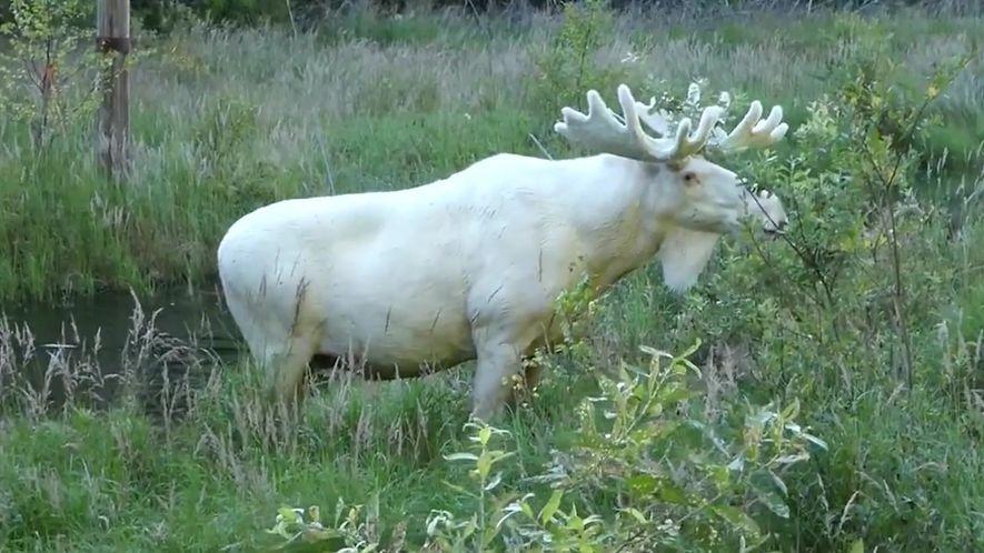 Alce branco é visto na Suécia