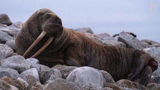 Estes animais possuem presas surpreendentes