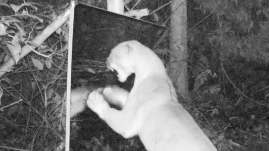 Animais amazônicos se veem pela primeira vez no espelho. Veja como eles reagem