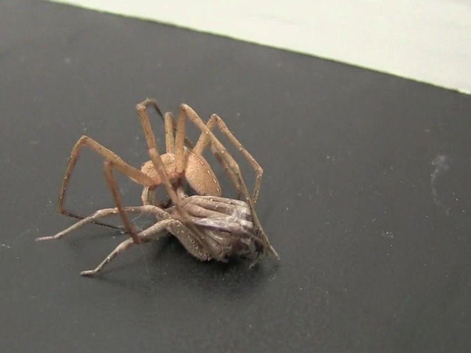 Veja: aranhas machos amarram parceiras para sobreviver depois do sexo