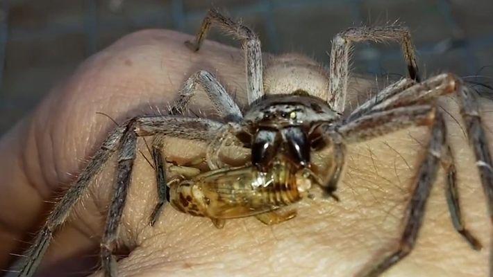 Aranha devora grilo