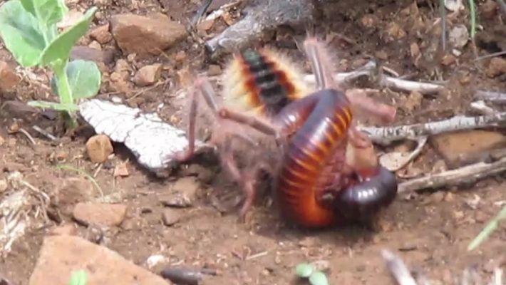 Assista a uma aranha-camelo matar um piolho-de-cobra em velocidade impressionante