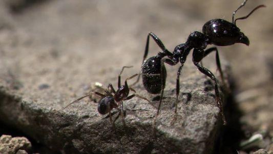 Veja esta aranha enganar uma colônia inteira de formigas