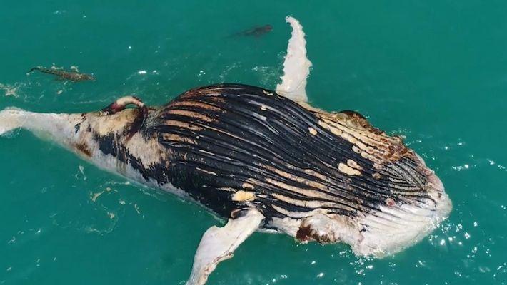 Veja esta baleia morta sendo devorada por dois tubarões e um crocodilo