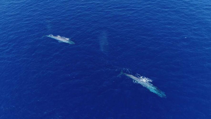 O flerte das baleias-azuis