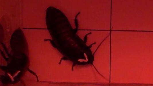 Barata contra barata: veja como esses insetos brigam pelo amor